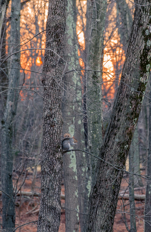 Squirrel at Sunset
