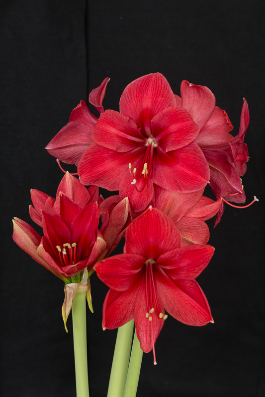 Amaryllis Flash-1