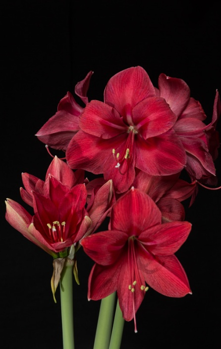 Amaryllis Flash-10