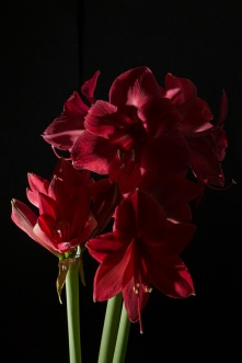 Amaryllis Flash-3