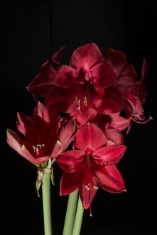 Amaryllis Flash-4