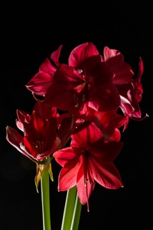 Amaryllis Flash-5