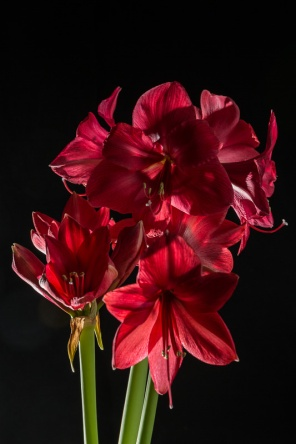 Amaryllis Flash-6