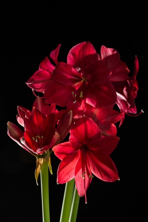 Amaryllis Flash-7