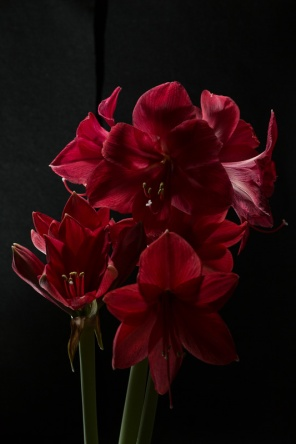 Amaryllis Flash-8