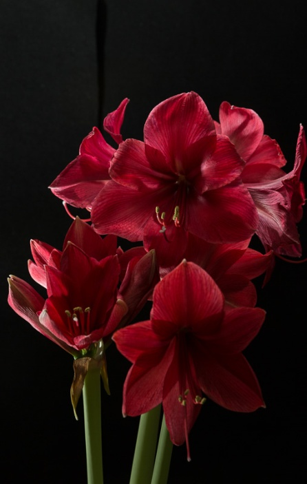 Amaryllis Flash-9