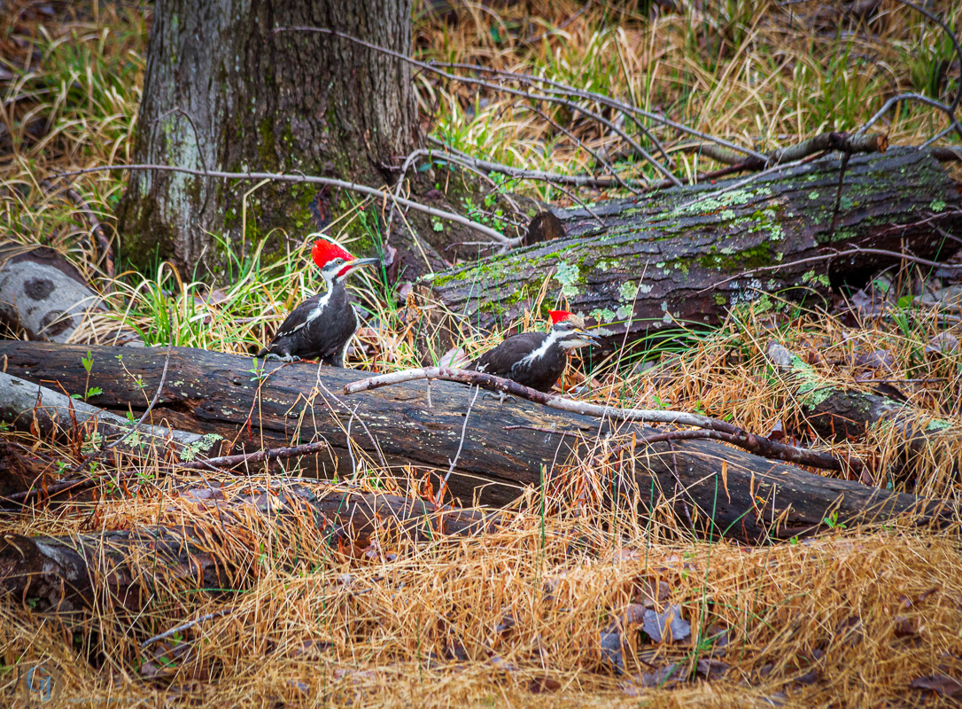 Woodpeckers-0042