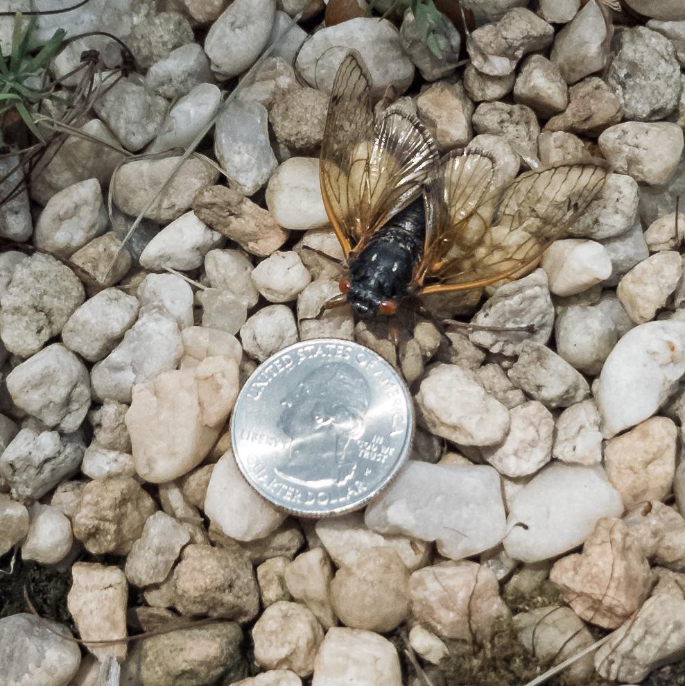 Brood X Cicada eyeing a quarter!